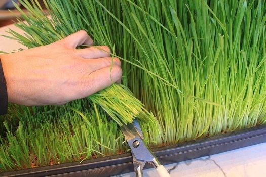 Wheatgrass_1